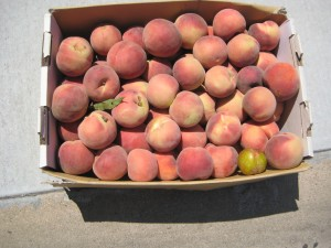 Find out how I got 30 lbs of peaches for $4 today....